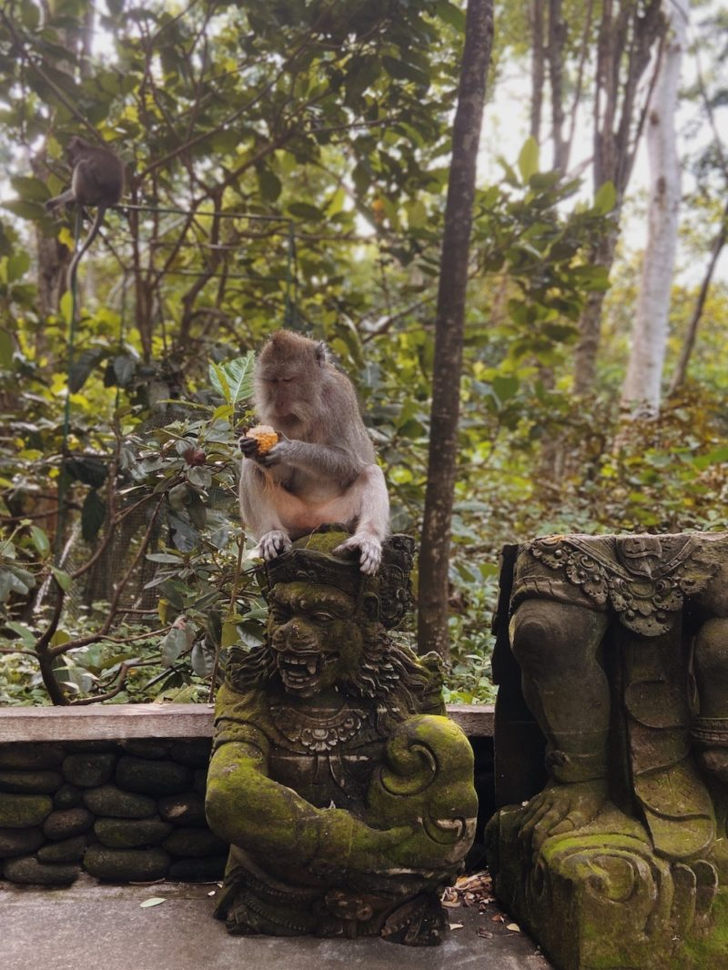 Monkey eating a corn cob in Sangeh Monkey Forest